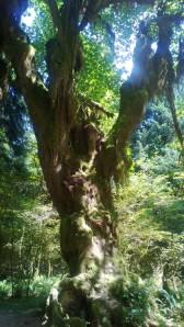 Hoh Tree1