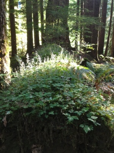 nurse log Hoh