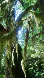 tree moss Hoh
